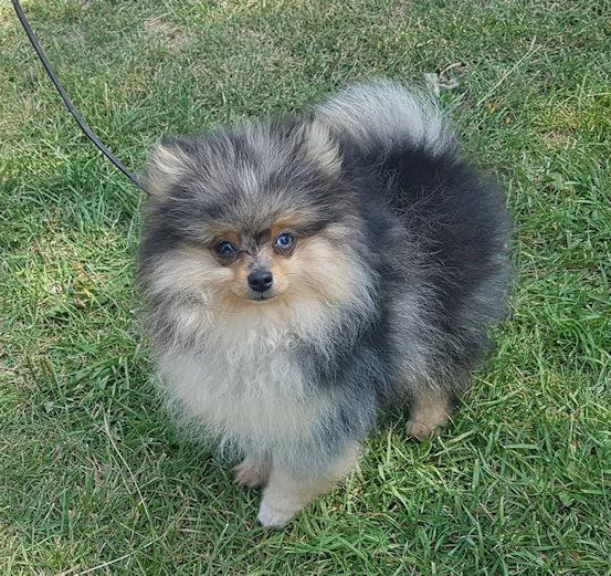 Pomeranian, Pomeranian Breeder, Pomeranian Show Dogs
